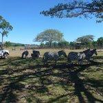 Сафари-парк Калауит - зебры