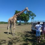 Сафари-парк Калауит - жирафы