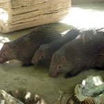 Сафари-парк Калауит - дикообразы