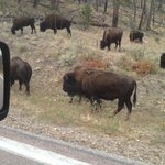 Buffalo everywhere