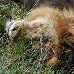 leone sazio