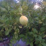 Lemon off the tree in 148's garden