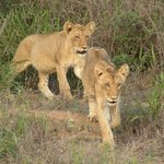 2 six month old lion cubs