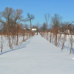 Grapevines in the winter
