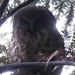 Even owls can rarely be seen in daylight hours, but only in special circunstances. We were lucky