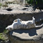 white tiger warming his belly on a cool Jan morning