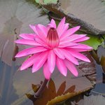 Beautiful water lily.