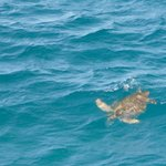 Sea turtle swimming out to the ocean