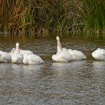 White pelicans on lake