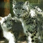 Momma Himani and One of Her Cubs
