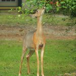 Deer munching on shrub