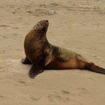 NZ Fur Seal at Porpoise Bay