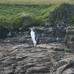 A yellow eyed penguin at nearby Curio Bay