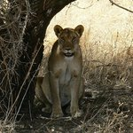 """Our"" lioness out on the Ranch."