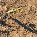 praying mantis (note the shadow)