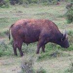 Afrikansk buffel