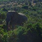 Elefant i Kuzuko National Park