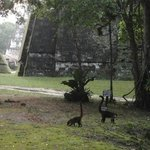 Coati mundis wandering around the park