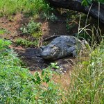 Den enorma krokodilen som ligger nere vid