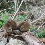 Dassies--closest relative of elephants!--are everywhere.
