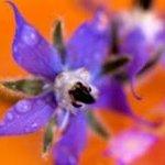 Fleur de Bourrache goût iodé d huitres