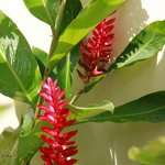 tropical ginger plant