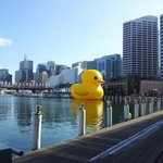 The Gigantic Rubber Duck at Darling Harbour. 5minute walk. till 23rd January