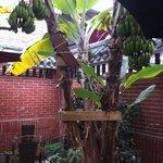 Bananenstauden im Gartenhotel