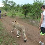 """Walking with the lions"" activity"