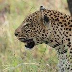 wij zagen de bigfive en dus ook deze leopard
