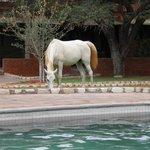 piscine et chevaux
