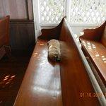 feline congregant