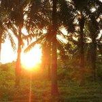 el bosque de palmas africanas