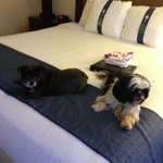 pip and Marshall enjoying the king size bed