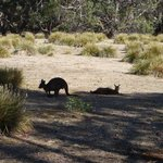 Wallabies by Mays Homestead