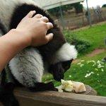 Petting a lemur