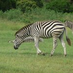 Friendly Zebra roam in the grounds