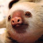 Milo, one of her first sloths.
