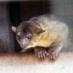 Kinkajou - this cute little animal is in a cage near the Monkey.