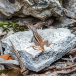 Wildlife - Native Lizard