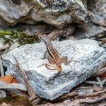 Wildlife - Native Lizard