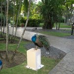 One of the many peacocks on the resort