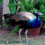 Garden peacock at Hotel Anuraag Villa