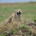 The Cheetah-Duma