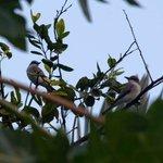 Grey Kingbirds in the trees