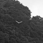 Great egret flying in the morning.