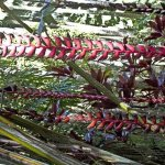 Giant red heliconia hanging in twenty or thirty feet lengths! Amazing