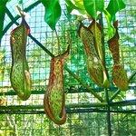 Beautiful Tropical Pitcher Plants.