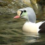 Interesting arctic duck