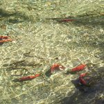 spawing Kokanee ... if you're visiting in September